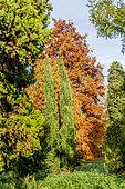 Taxodium distichum , Cupressus sempervivens, Arboretum de l'Ecole du Breuil, Paris, France
