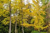 Ginkgo biloba, Taxodium distichum , Betula nigra 'Héritage', Cupressus sempervivens, Arboretum de l'Ecole du Breuil, Paris, France