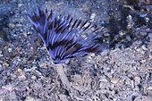Peacock worm (Sabella pavonina), Sea Lion Dive Site, Saint Raphael, French Riviera, France