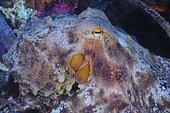 Common Octopus (Octopus vulgaris), Sea Lion Dive Site, Saint Raphael, French Riviera, France