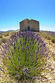 Field of Lavender (Lavandula hybrida) flowers and house, Valensole plateau, Provence, France