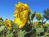 Sunflower(Helianthus annuus) in bloom, Plateau de Valensole, Provence, France