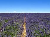 Field of Lavender (Lavandula hybrida) flowers, Valensole plateau, Provence, France