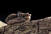 Portrait of Eyelash viper (Bothriechis schlegelii) on black background.