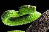 Portrait of Green Pit Viper (Trimeresurus albolabris) on black background
