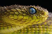 Portrait of Bush viper (Atheris squamigera) on black back ground