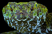 Portrait of Mangshan's Pitviper (Protobothrops mangshanensiso) on black background.