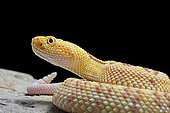 Portrait of Hypomelanistic Northwestern neotropical rattlesnake (Crotalus culminatus) on black background
