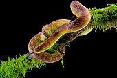 Portrait of Bush viper (Atheris squamigera) on a branch on black back ground