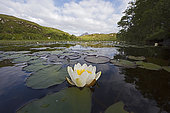 White Water Lily (Nymphaea alba) growing in lochan in Inverpolly National Nature Reserve, in NW Scotland