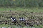 Eurasian Oystercatcher (Haematopus ostralegus) parent feeding chicks in the rain with worms, Holme, Norfolk, summer