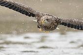White-tailed Eagle Haliaeetus albicilla adult Hortobagy National Park Hungary January