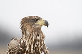 White-tailed Eagle (Haliaeetus albicilla) immature, Hortobagy National Park, Hungary, January