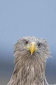 White-tailed Eagle (Haliaeetus albicilla) adult, Hortobagy National Park, Hungary, January