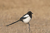 Eurasian Magpie (Pica pica), Hortobagy National Park, Hungary, January