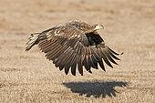 White-tailed Eagle (Haliaeetus albicilla) immature in flight, Hortobagy National Park, Hungary, January