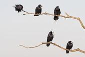 Corbeaux freux (Corvus, frugilegus) sur des branches, Hortobagy, Hongrie