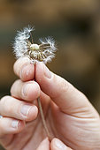 Seed head of a dandelion in a woman's hand