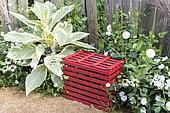 Nicotiana tomentosa variegata