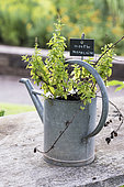 Moroccan mint inside a watering can made of zinc