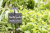 European pennyroyal in a garden