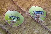 Two damselflies looking through the holes made by a caterpillar on a leaf