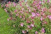 Flowering Tobacco (Nicotiana x sanderae) 'Perfume' in bloom