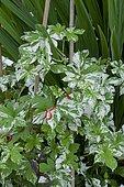 Japanese hop (Humulus japonicus) 'Variegatus'