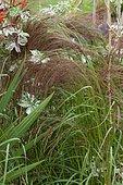 Teff (Eragrostis tef) and Japanese hop (Humulus japonicus) 'Variegatus'