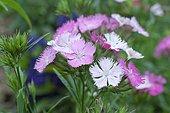Chinese Carnation (Dianthus barbatus x chinensis) 'Magic Rose Bouquet', Perennial Plant