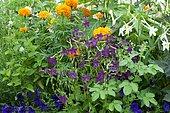 Flowering Tobacco (Nicotiana sp) in bloom