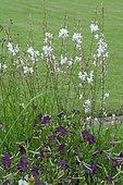 Lindheimer's beeblossom (Gaura lindheimeri) in bloom