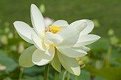 Lotus des Indes, Lotus sacré ou Lotus d'Orient (Nelumbo nucifera) en fleurs, Plante aquatique vivace