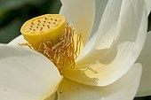 Lotus des Indes, Lotus sacré ou Lotus d'Orient (Nelumbo nucifera) pistil et étamines, Plante aquatique vivace