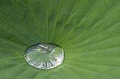 Goutte d'eau sur une feuille de Lotus des Indes, Lotus sacré ou Lotus d'Orient (Nelumbo nucifera), Plante aquatique vivace