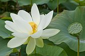 Nelumbo nucifera (lotus des Indes, lotus sacré, lotus d'Orient), Portrait, Plante aquatique, Vivace