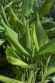 Common turmeric (Curcuma longa) foliage