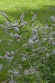 Water Mint (Mentha aquatica) in bloom