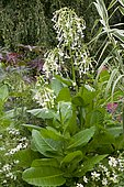 South American tobacco (Nicotiana sylvestris) in bloom