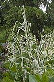 Variegated giant cane (Arundo donax) 'Variegata', Synonym: (Arundo donax var. Versicolor), Ornamental grass