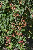 Crabapple tree (Malus sp) 'Everest', Fruits