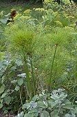 Papyrus (Cyperus papyrus), Plante aquatique
