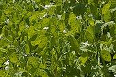 Crops honesty (Lunaria annua biennis) siliques