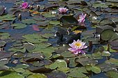 Eurasian coot (Fulica atra) and chick on water lilies (Nymphaea sp)