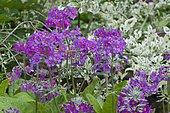 Candelabra Primrose (Primula beesiana) in bloom