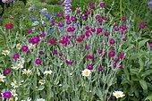 Rose campion (Lychnis coronaria) in bloom in a garden