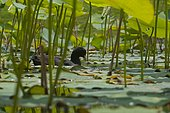 Eurasian Coot (Fulica atra) swimming in Lotus (Nelumbo nucifera)