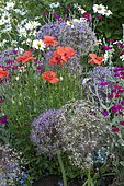 Corn poppy (Papaver rhoeas), Rose campion (Lychnis coronaria) and Ornament garlic (Allium sp) in bloom