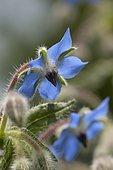 Bourrache officinale (Borago officinalis), fleur