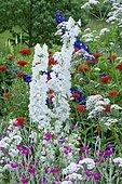 Delphinium hybrid (Delphinium x pacific) 'Pacific Giant' and Vervain (Verbena sp) mixed